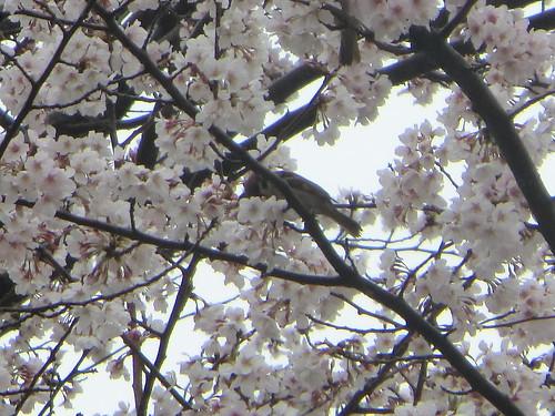 桜に雨宿り