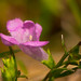 Small photo of Common Foxglove (Agalinis tenuifolia)