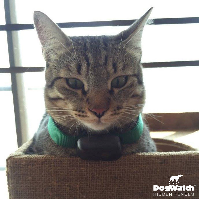 Tabby Cat wearing our R7mini Receiver, DogWatch Thailand