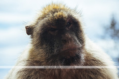 Barbary macaques in Gibraltar