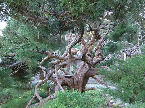 Hakone Japanese Gardens, Saratoga, CA, tree IMG_2364