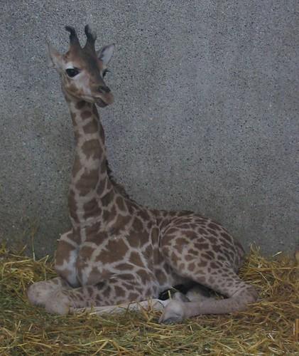 giraffenbaby%20februar%2008%203