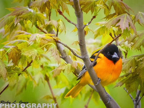 Baltimore Oriole by Ricky L. Jones Photography