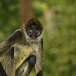Mono araña de Geoffroy [Spider monkey] (Ateles geoffroyi), Zoológico El Picacho