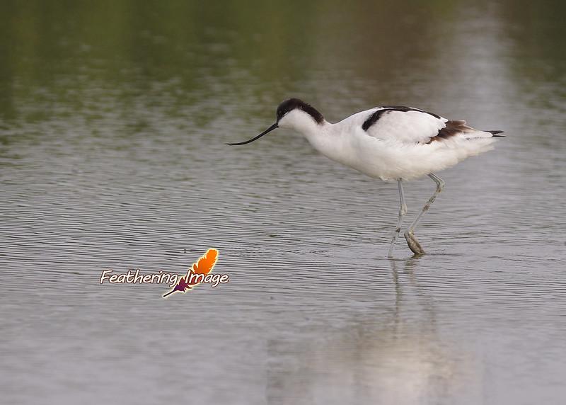 台南鳥拍 - 反嘴鴴