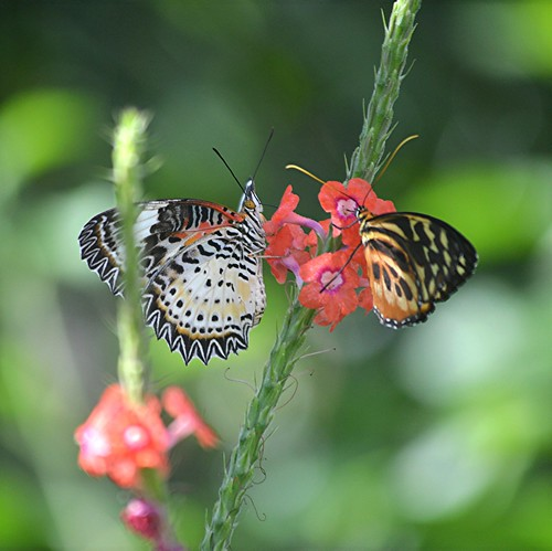Lacewing and Tiger nectaring on coral Porterweed by jungle mama