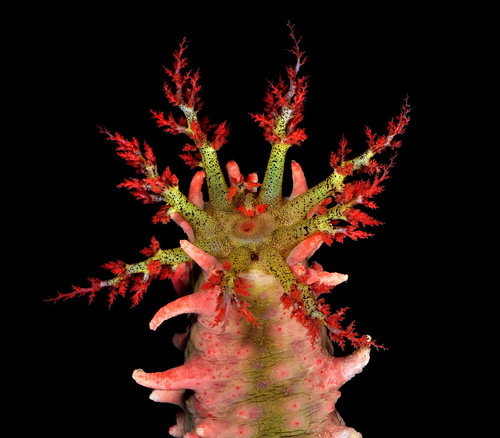 Tentacles of the warty pink sea cucumber (Colochirus quadrangularis)