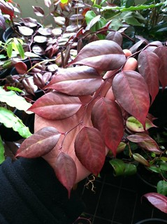 Leucothoe keiskei winter leaf color