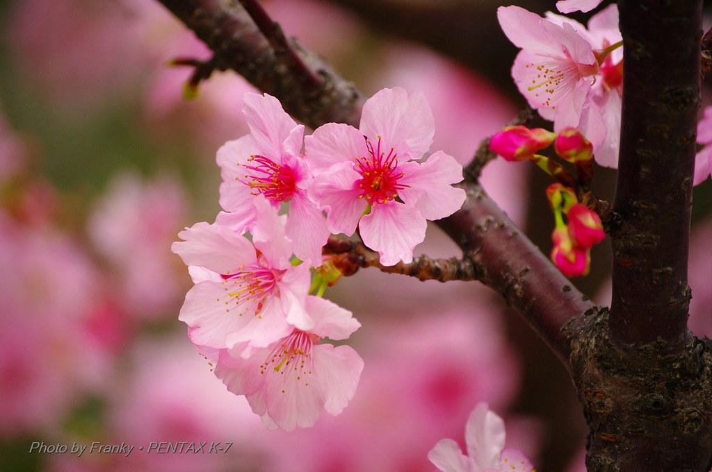 Sakura at Hsinchu