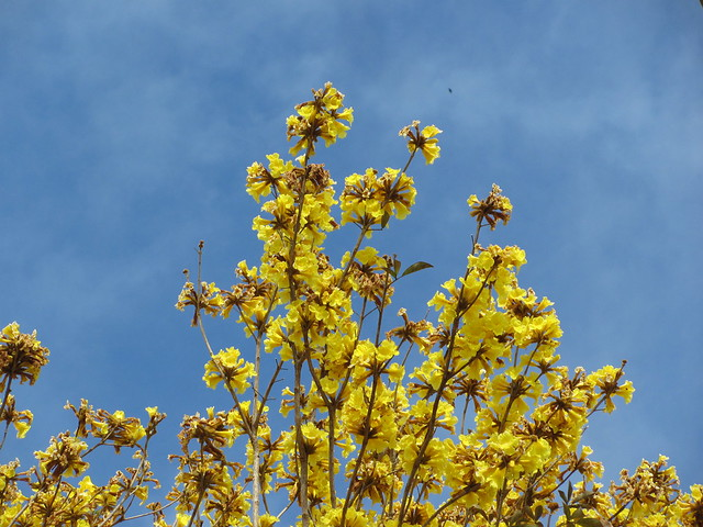 Yellow tabebuia against sky