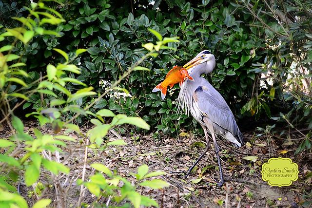 Heron eating koi fish flickr photo sharing for What do koi fish eat