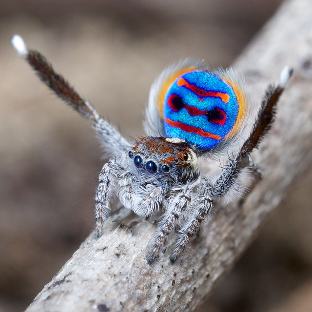 Peacock jumping spiders - photo#40