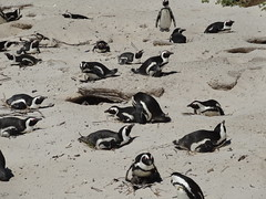 Südafrika 2013-01 099 Boulders Pinguinkolonie