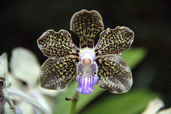 gray orchid