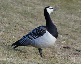 Vitkindad Gås / Barnacle Goose