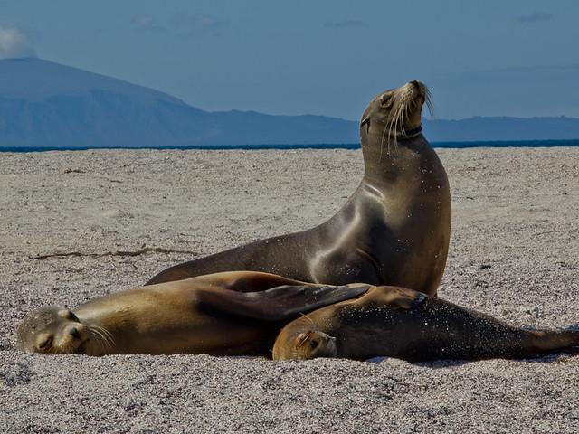 Galapagos mammals: Galapagos Sea Lions