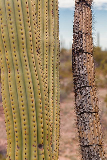 Two Stems - Organ Pipe Cactus