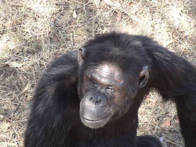 Chimpanzee Sweetwaters