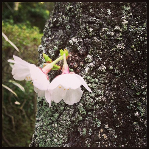 うちの桜も開花した! とりあえず....