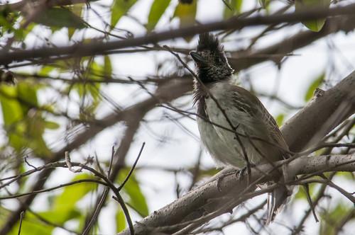 birds animals ecuador loja animalia vertebrates thamnophilidae collaredantshrike thamnophilusbernardi typicalantbirds