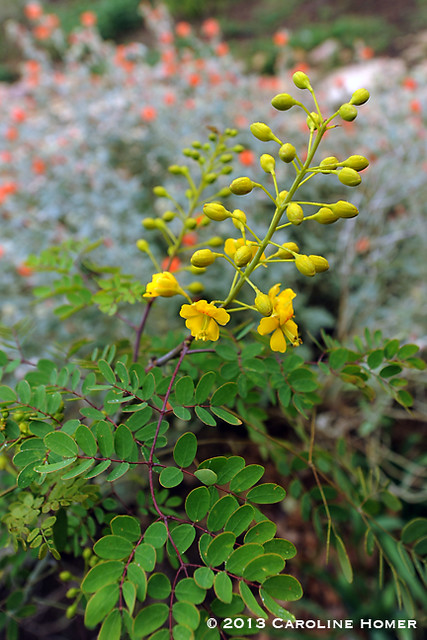 Mexican Bird of Paradise (Caesalpinia mexicana)