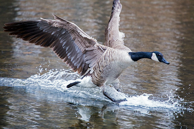 how to draw a goose landing