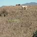 Cows eating corn stalks - Vacas cerca de San Juan Tabaá, Districto Villa Alta, Región Sierra Juárez, Oaxaca, Mexico por Lon&Queta