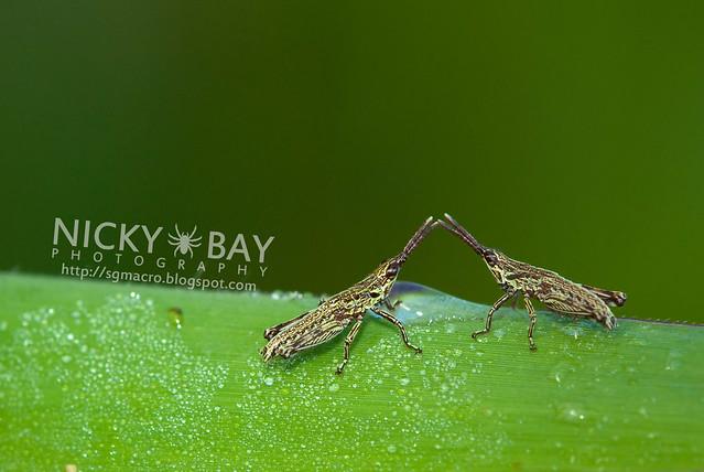 Grasshoppers (Caelifera) - DSC_6097