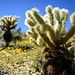 Tonto Cholla Cactus by Rh+