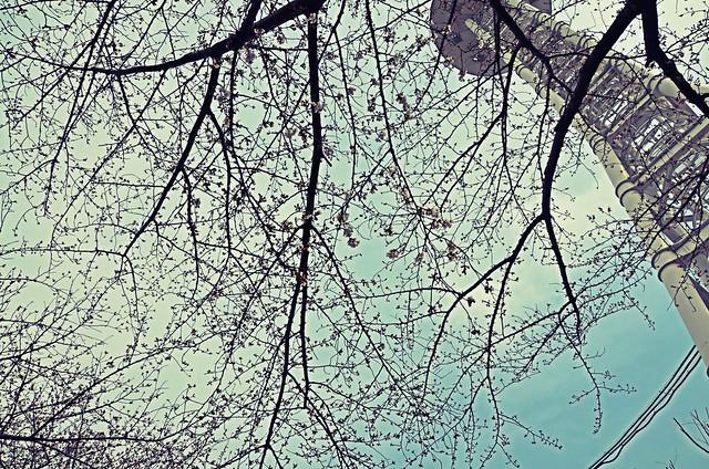cherry_tree_2