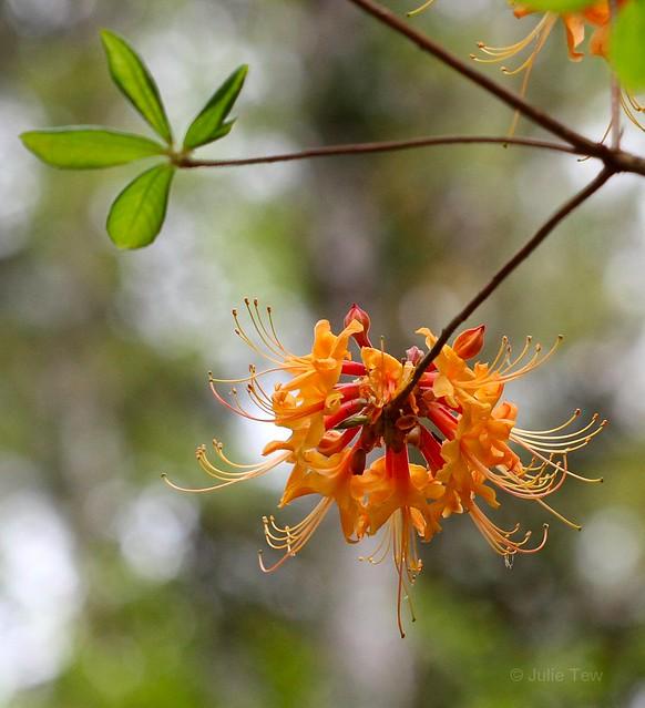 Florida Flame Azalea