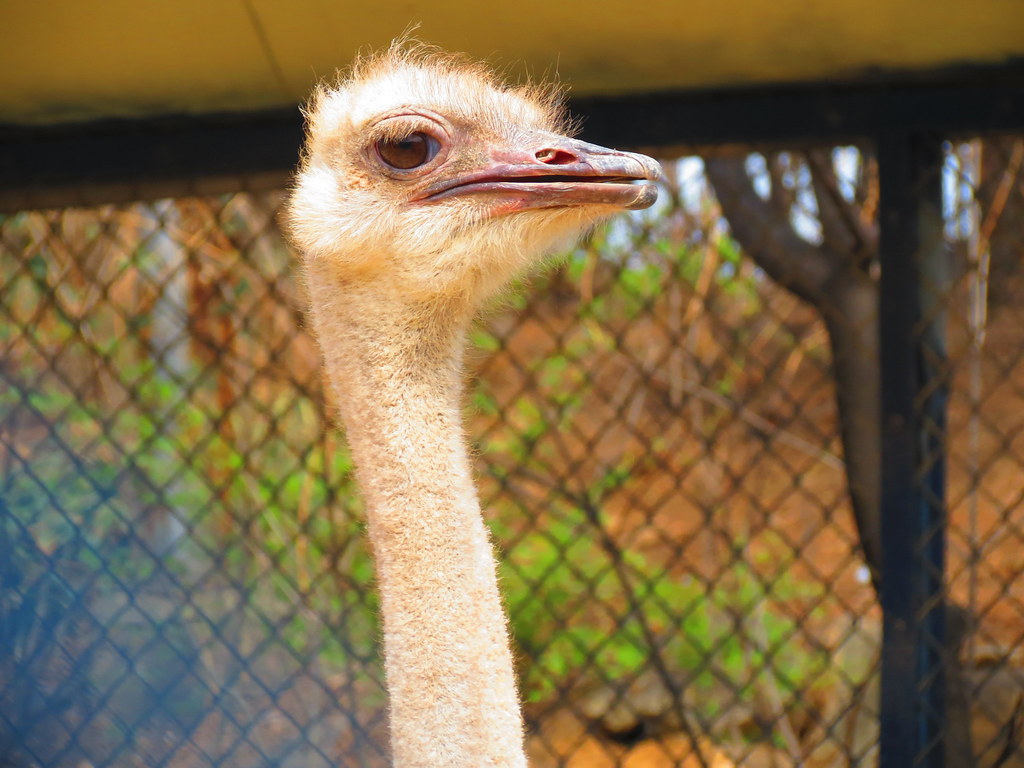 Ostrich at Dalseong Park