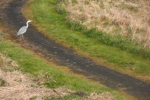 Heron walking across path toward River Tweed