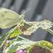 Vlinder op zaterdag 27 augustus 2016 by sidneyportier