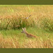 Long Shot Roe Deer with unexpected  Hen Harrier behind by lakeslover2010