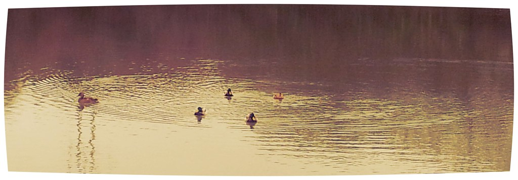 , A good day for Ducks at Neyland Marina (Country Kids)