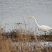 Warren Lake TX - © Tail Feather Photos - Great Egret Protecting Territory - Texas Bird Photography Locations