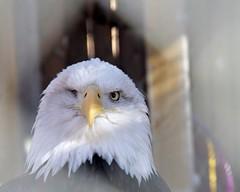 Injured Bald Eagle  (Explored)