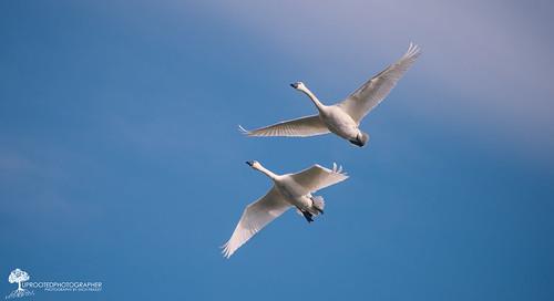 blue white bird nature nc swan wings couple wildlife pair flight northcarolina bluesky 300mm swans migration birdwatching nationalwildliferefuge pocosin nwr nwf d600 pungo briding