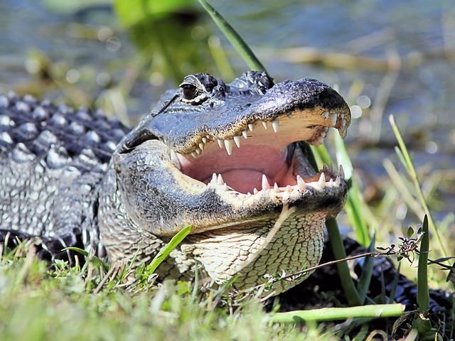 American Alligator 20130202