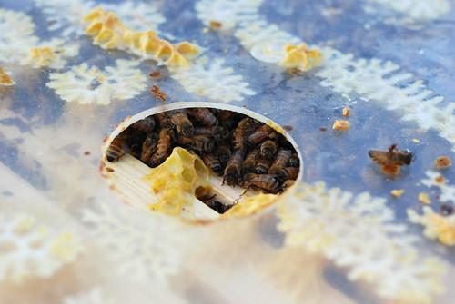 Shivering bees - Ramona