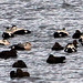 King Eider with Common Eiders (Peter Dunn)