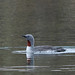 Red throated diver (Alan Bevis)