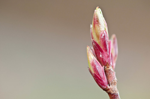 Red Flowering Currant (Ribes sanguineum)