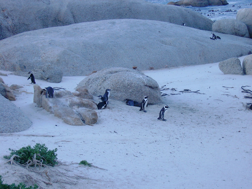 Hues of blue - Penguins at Boulders