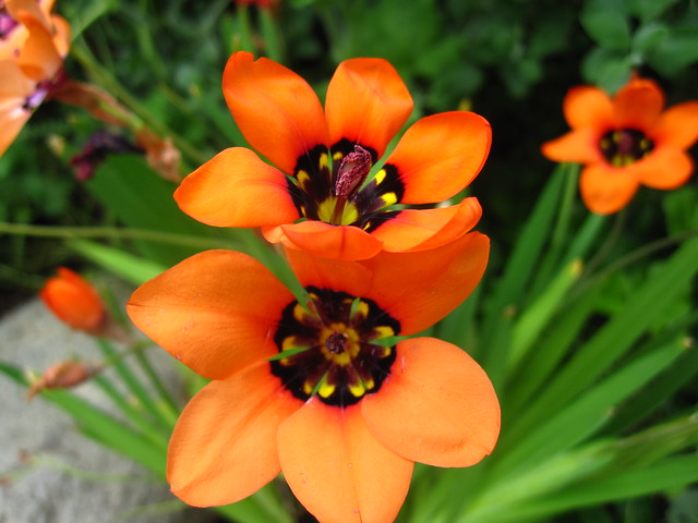 Sparaxis elegans in the Warm Temperate Pavilion. Photo by Sarah Schmidt.