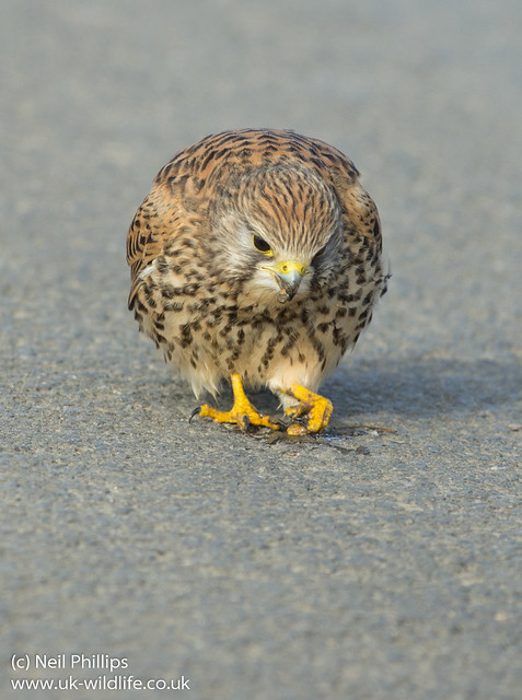Kestrel eating earthworm