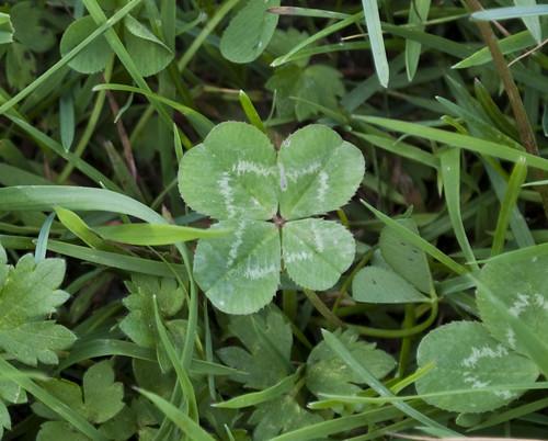 four leaf clover hunt