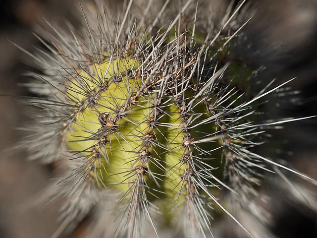 Galapagos Plants: Cacti