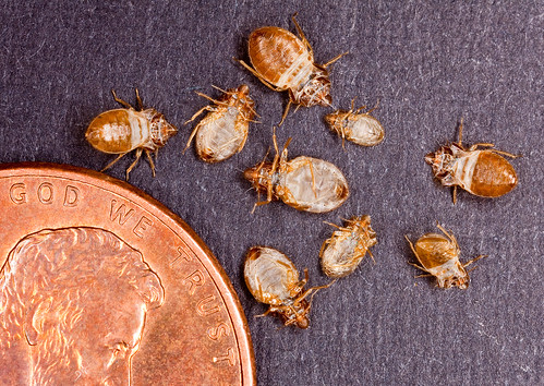 The penny in this photo provides a sense of scale to the size of bed bug skins collected for analysis by ARS scientists in Beltsville, Maryland.
